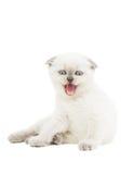 滑稽的小猫喵喵叫 库存照片