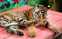 滑稽的小的老虎 免版税图库摄影