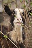 滑稽的山羊在4月 免版税库存图片