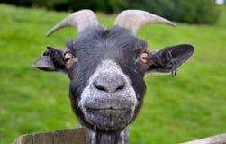 滑稽的山羊 免版税库存图片