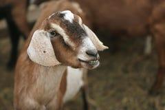 滑稽的山羊 库存图片
