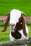 滑稽的山羊 库存照片