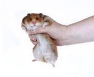 滑稽的布朗叙利亚仓鼠在被隔绝的一只女性手上 免版税库存照片