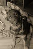 滑稽的德国牧羊犬小狗 库存照片