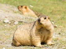 滑稽的惊奇的土拨鼠夫妇在绿草的 库存照片