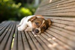 滑稽的懒惰小狗 免版税图库摄影