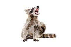 滑稽的打呵欠的浣熊画象  库存图片