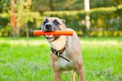 滑稽的棕色狗用在他的嘴的一根棍子 免版税库存图片