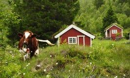 滑稽的母牛在挪威 图库摄影