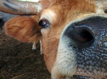 滑稽的母牛 免版税库存图片