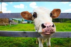 滑稽的母牛portrain关闭 免版税库存照片