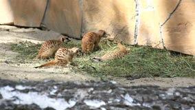 滑稽的比赛meerkats青少年。 影视素材