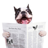 滑稽的法国牛头犬读书报纸 免版税库存图片