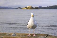 滑稽的海鸥 库存图片