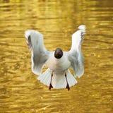 滑稽的海鸥 库存照片