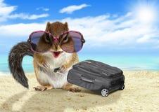 滑稽的游人,带着手提箱的动物灰鼠在海滩 免版税库存照片
