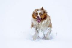 滑稽的澳大利亚牧羊人运行中和享受雪时间 库存图片