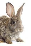 滑稽的灰色兔子 库存照片