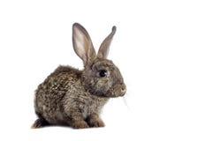 滑稽的灰色兔子 免版税库存照片