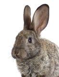 滑稽的灰色兔子 免版税图库摄影