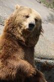 滑稽的熊在动物园里 免版税库存图片