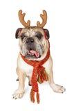 滑稽的牛头犬圣诞节驯鹿 免版税库存图片