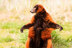 滑稽的狐猴Varecia Rubra 免版税图库摄影