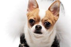 滑稽的狗佩带的佩带的冬天成套装备 免版税库存照片