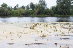 滑稽的狗品种日语秋田Inu跑十字架有海草的河到在自然夏天背景的岸 免版税库存图片