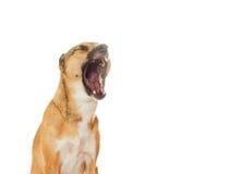 滑稽的狗哈欠 图库摄影