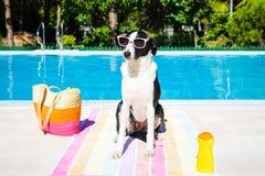 滑稽的狗在游泳池的暑假 免版税库存图片