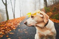 滑稽的狗在秋天 免版税图库摄影