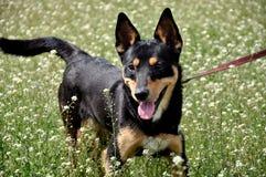 滑稽的狗在草甸 图库摄影