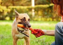 滑稽的狗用在他的嘴的一根棍子 免版税库存图片