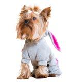滑稽的狗约克夏 免版税库存图片