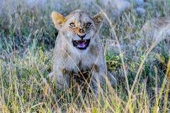 崽滑稽的狮子 免版税库存照片