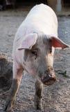 滑稽的猪 图库摄影