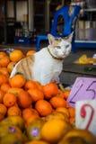 滑稽的猫在桔子坐 免版税图库摄影