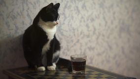 滑稽的猫坐桌 影视素材