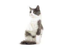 滑稽的猫拾起爪子 免版税库存图片