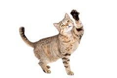 滑稽的猫苏格兰平直 图库摄影