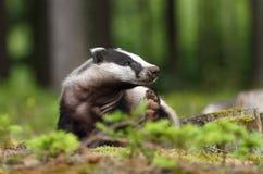 滑稽的獾 免版税库存图片