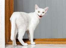 滑稽的疯狂的猫 免版税库存照片