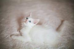 滑稽的白色小猫缅因浣熊 库存图片