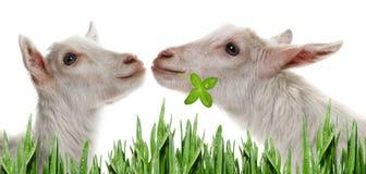 滑稽的白色山羊 免版税库存照片