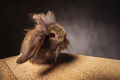 滑稽的看的狮子顶头小兔 免版税库存照片