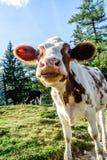 滑稽的看起来的幼小小牛 免版税库存图片