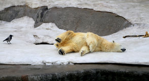 滑稽的睡觉熊照片  库存图片