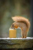 滑稽的红松鼠 库存照片