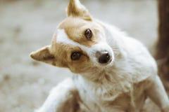 滑稽的红色狗在框架看 免版税库存图片